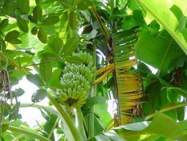 涠洲岛香蕉